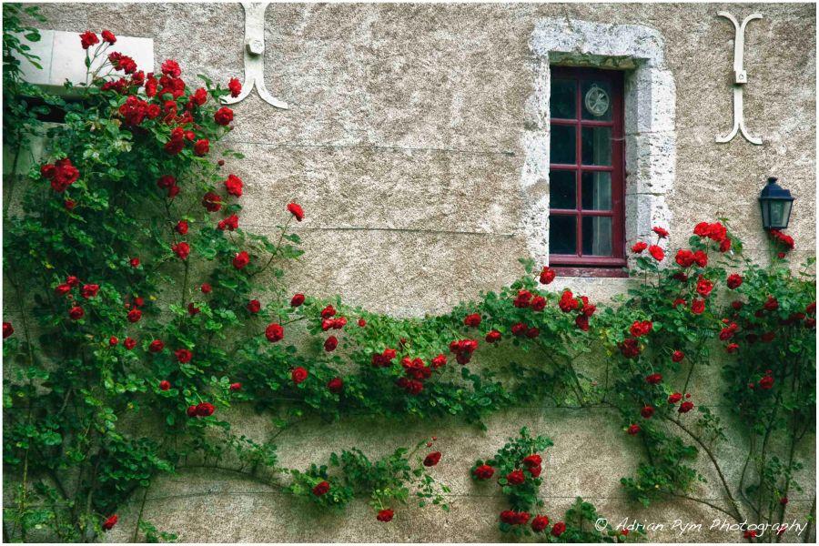 Roses_DSC_7968